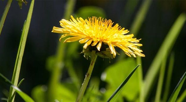 Best Dandelion Wine Recipe for Cheap Wine Making