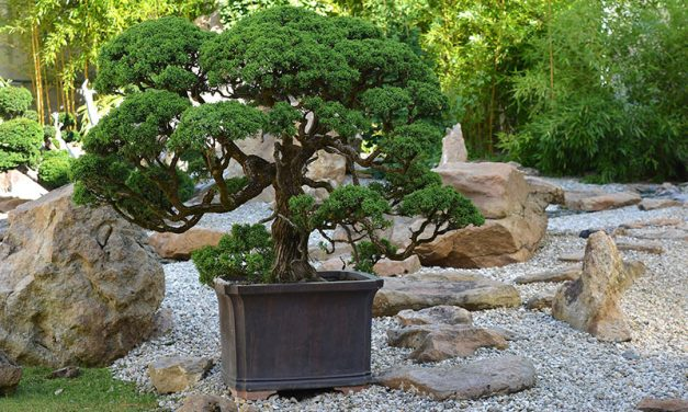 Bonsai for Beginners – 6 Tips to Help You Get Started